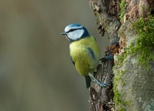 Oiseau_Mésange-bleue