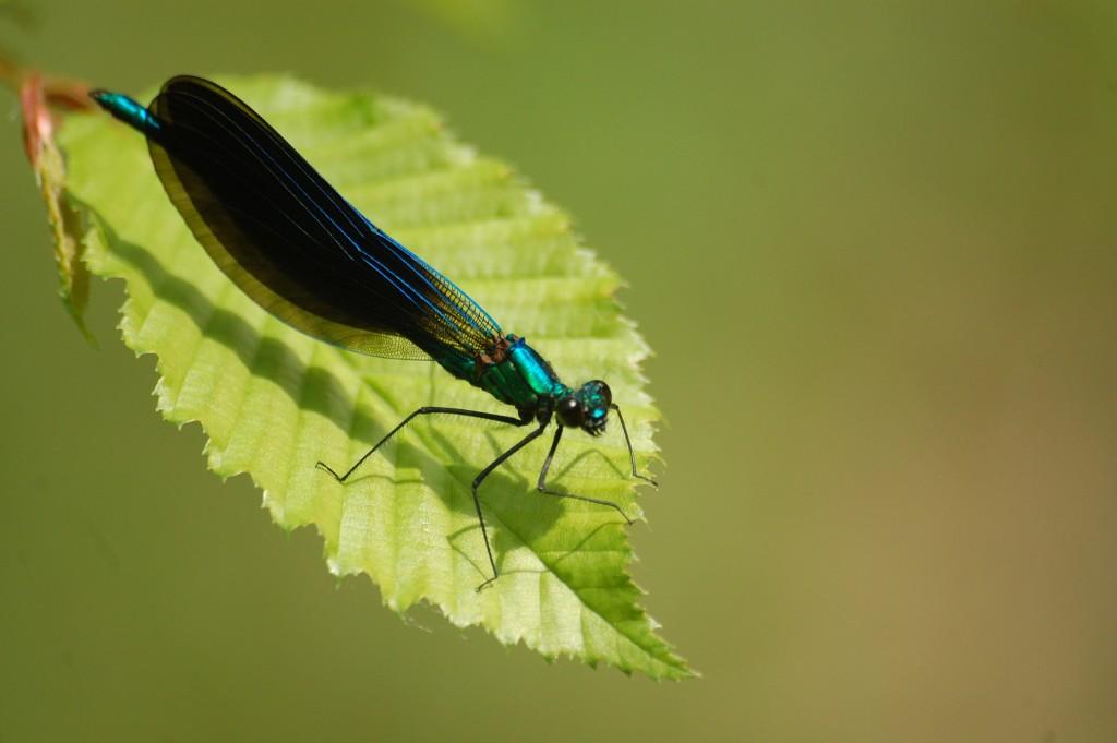 Faune_Lepido_Calopteryx-virgo
