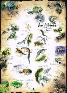 Affiche_Amphibiens-Centre