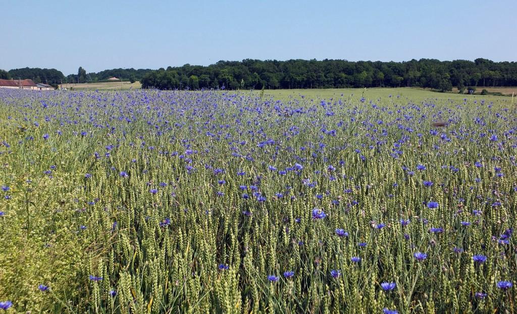 Etudes_Diag-Biodiv_Cereales-Bleuets